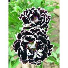Семена цветов Гвоздика Черное и белое, 50 сем.